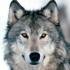 germanwolf