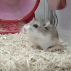 HamsterConPulovercito