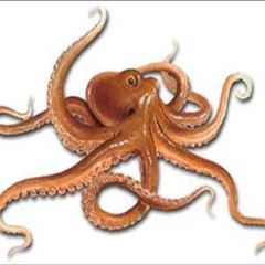 Octopusy27