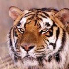 tigerek73